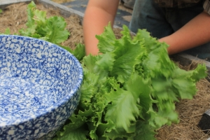 Heirloom Lettuce by, Jean Smith